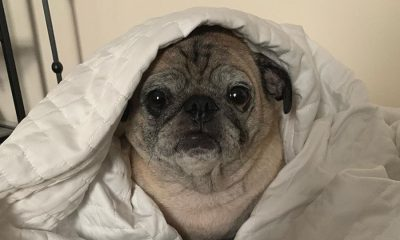 What Does A 'No Bones Day' Mean? Meet Noodle, The Pug Calling The Shots